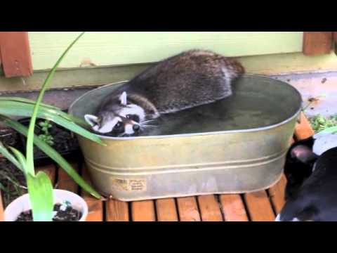Flower The Raccoon Takes A Swim