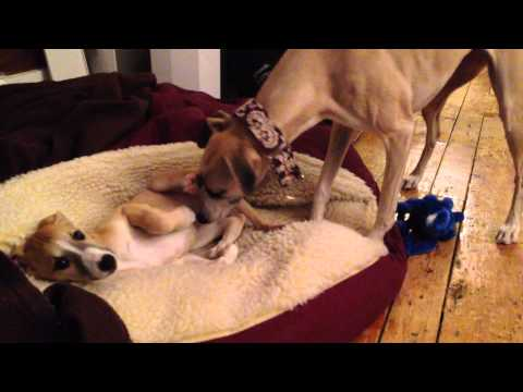 9 Week Old Whippet Puppy's First Night Home