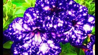 видео Сальпиглоссис: интересные сорта с фото, выращивание из семян, уход