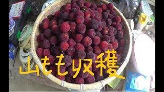 家庭菜園 2018年 ヤマモモ収穫