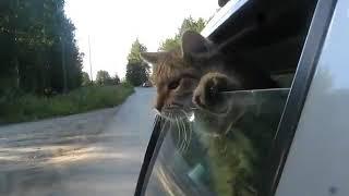 Кот выглядывает из едущей машины