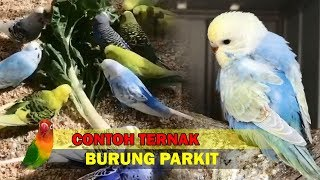 Contoh Ternak Burung Parkit PALING MANTAP MENGUNTUNGKAN