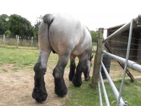 Favoloso 2 Cavallo Belga da tiro Maschio_MVI 0335 - YouTube TV65