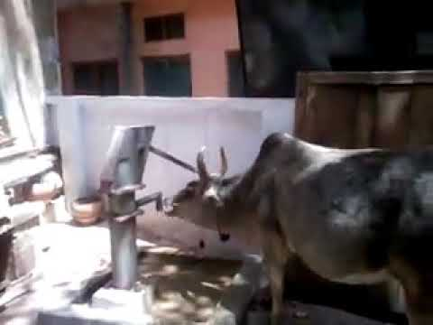 Indian cow, cow , intelligent cow, mitls groups, Dashrath singh,