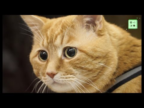 Пикси-, видео породы кошек - Пикси-боб