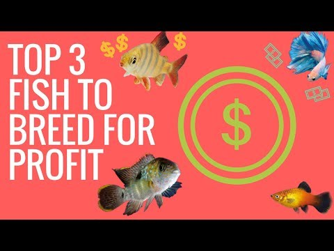 TOP 3 FISH TO BREED FOR PROFIT (Guppies, Discus, Bristlenose)