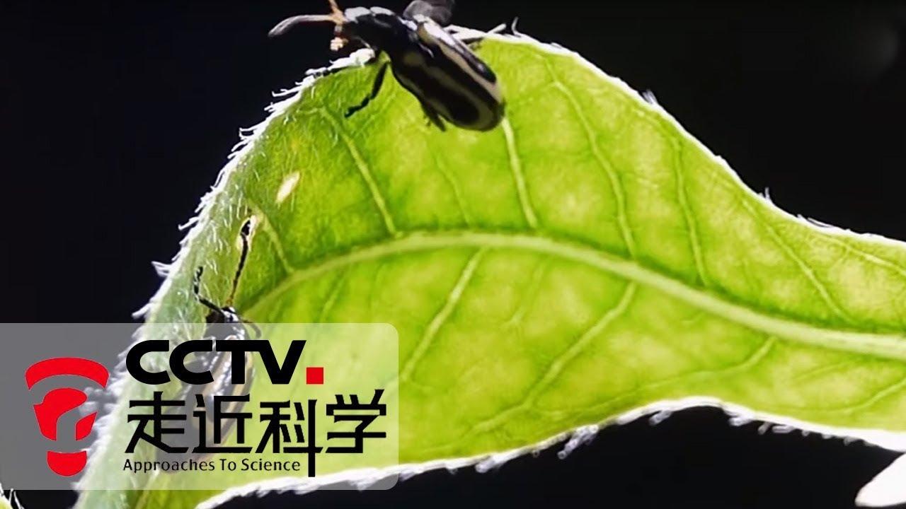 《走近科学》 治理水花生:看小小甲虫如何遏制外来入侵植物 20190930 | CCTV走近科学官方频道