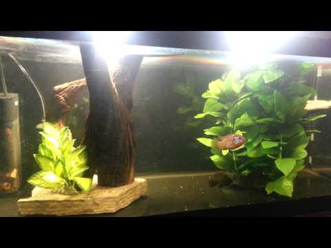 Jewel Cichlids pair feeding frenzy