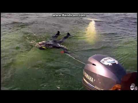 Captn Kieran snorkeling with beluga whales in Churchill River