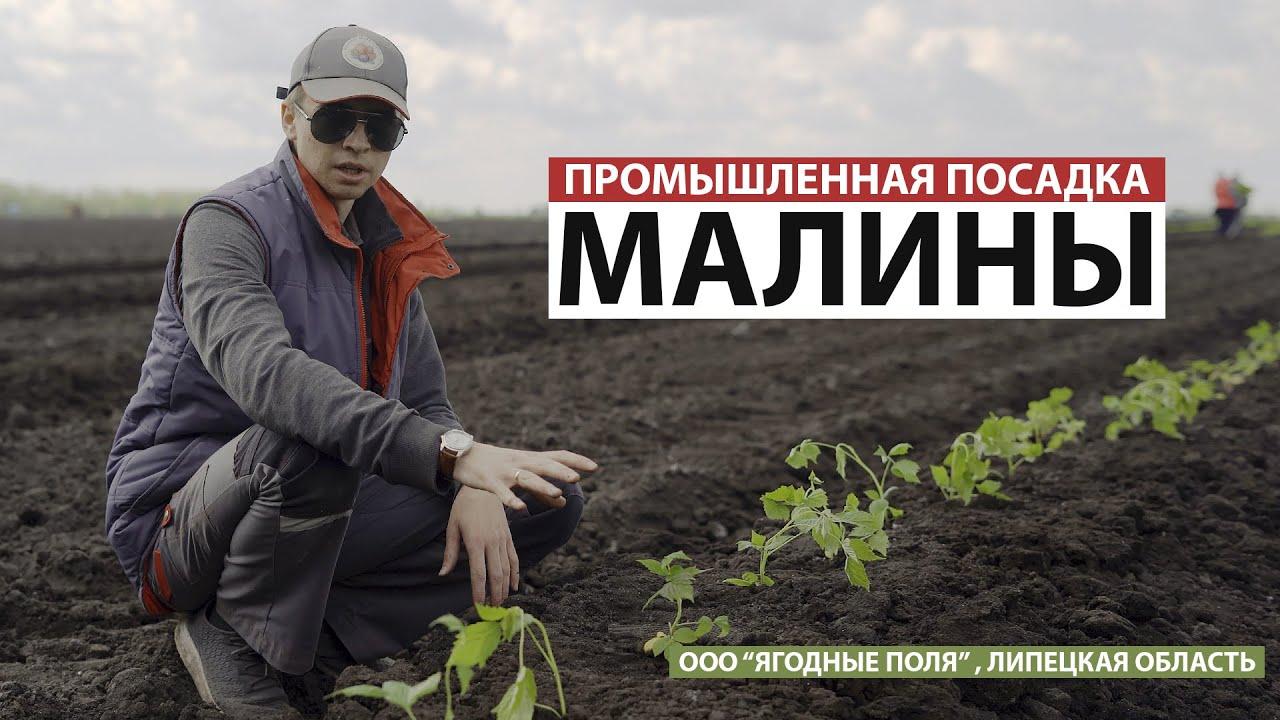 """Промышленная посадка малины (ООО """"Ягодные поля"""")"""