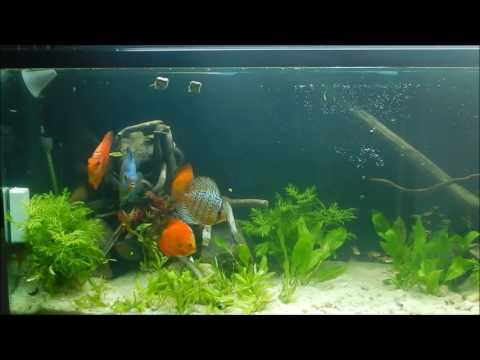 How To Feed Discus Fish