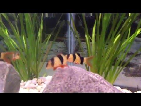 New Additions: Clown Loach To Cichlids Community Tank 55 Gallon