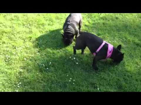 Gizmo the French Bulldog and his girlfriend