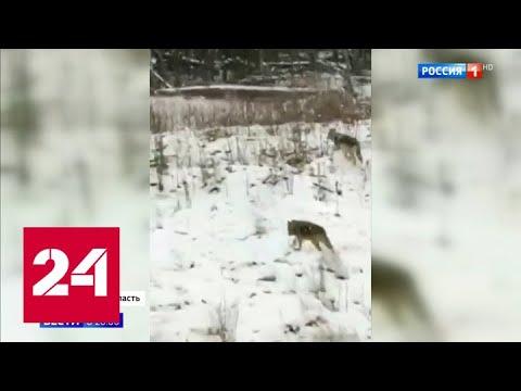 Нашествие волков: в Свердловской области хищники оккупировали местные поселки Россия 24