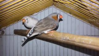 ZEBRA FINCH BREEDING AGE AND  BASICS IN URDU