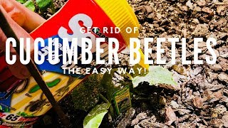How To Get Rid Of Cucumber Beetles The Easy Way