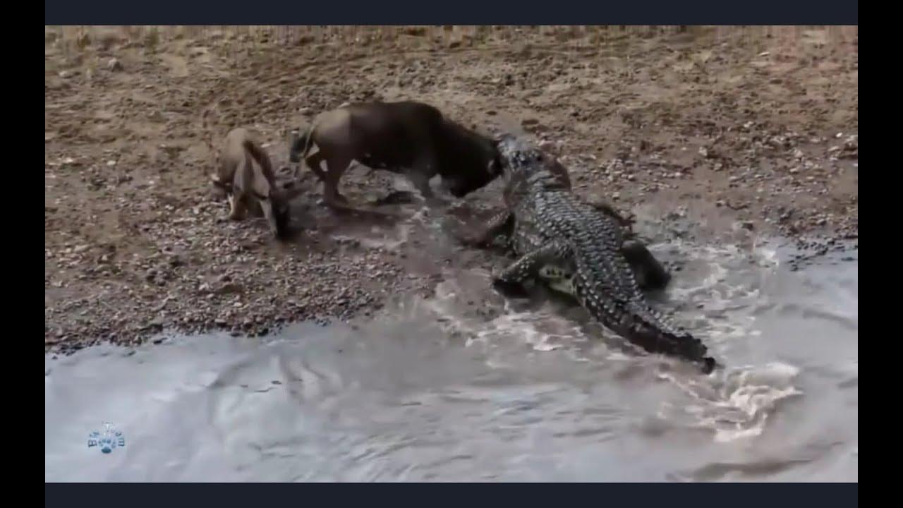 Крокодил король болот. Нападения крокодилов. Битвы хищников.