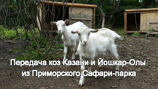 Передача коз Казани и Йошкар-Олы из Приморского Сафари-парка