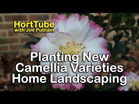 Check Out These New Fall Flowering Camellia Varieties