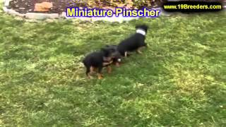 Miniature Pinscher, Puppies, For, Sale, In, Cincinnati, Ohio, Oh, Westerville, Huber Heights, Lima,