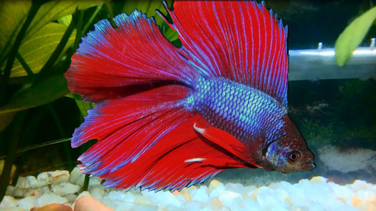Delta tail betta siamese fighting fish youtube for Fish and tails