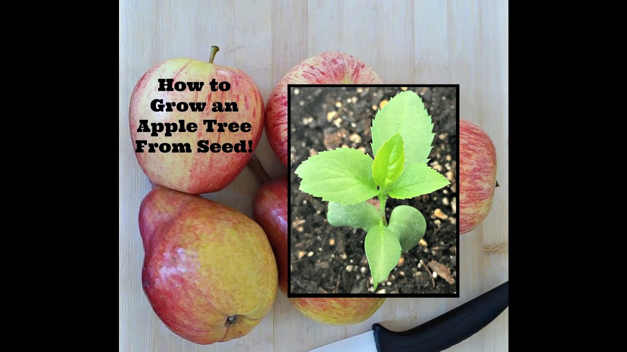 How To Grow An Apple Tree From Seed Youtube