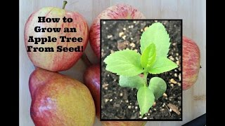 How to Grow an Apple Tree From Seed!