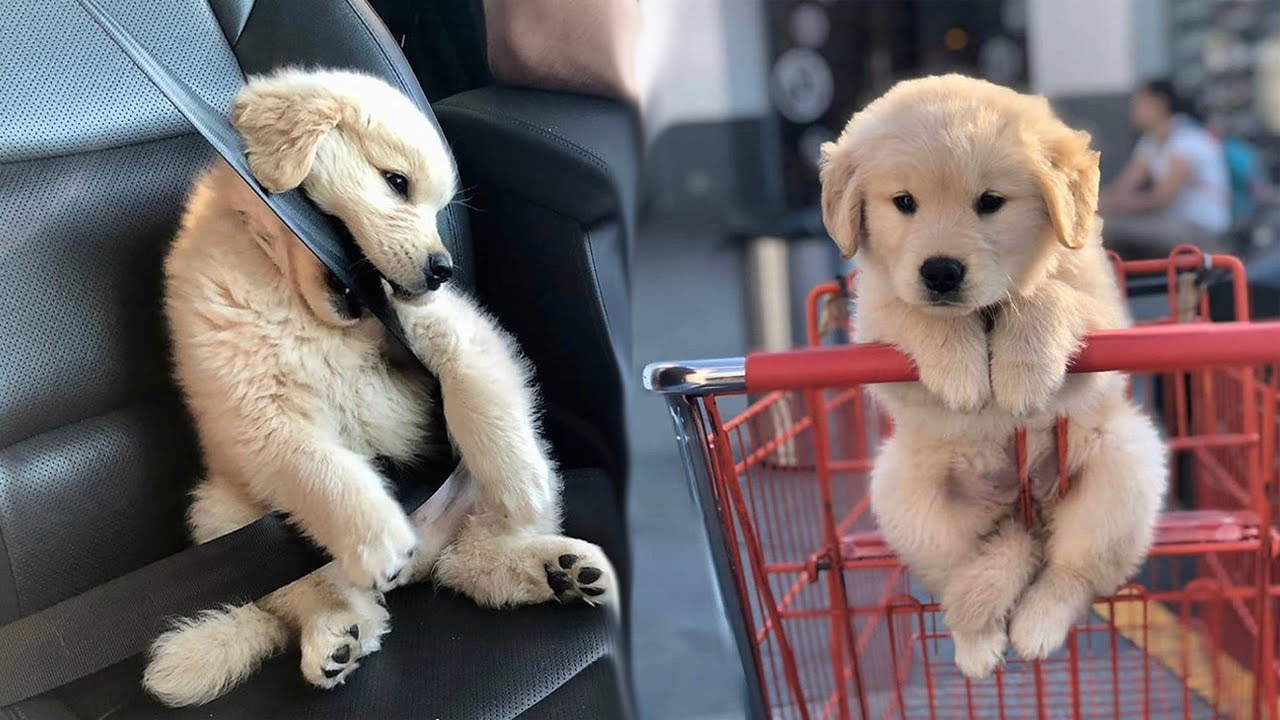 Funny and Cute golden retriever Puppies Compilation 1- Cutest Golden Puppy 2020