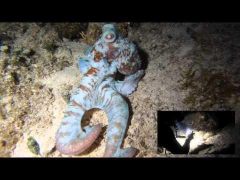 Octopus Catching Fish - Cozumel 2011