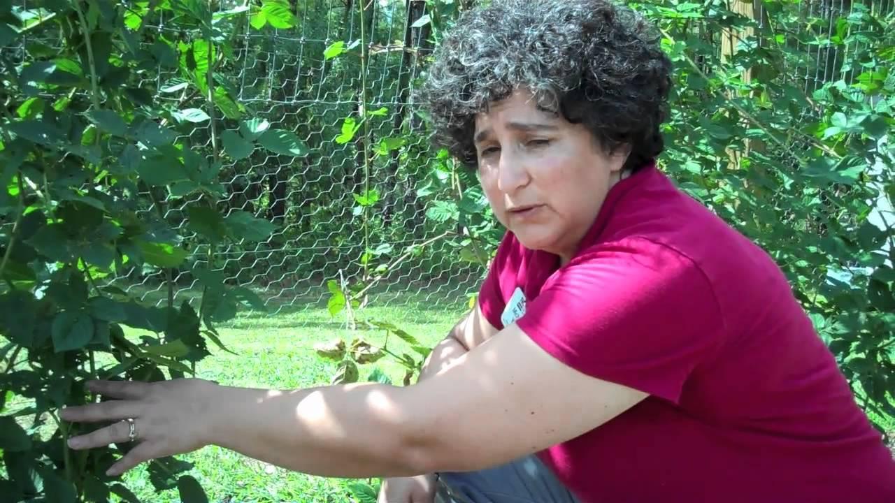 How To Prune Blackberry Plants