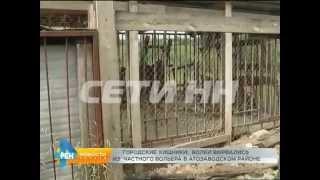 Сбежавшие из частного питомника волки в Автозаводском районе растерзали собак
