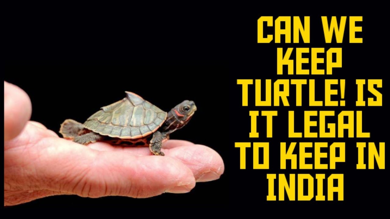 Can we keep turtle as pet in India! Is it legal? - YouTube