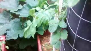 Вертикальные грядки Клубника в трубах Супер мини огород второй урожай. видео 9