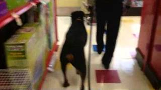 Human And Dog Aggressive Rottweiler | Majors Academy Dog Training And Rehabilitation