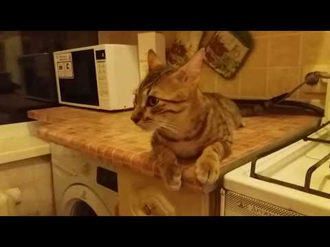 Egyptian mau in the kitchen