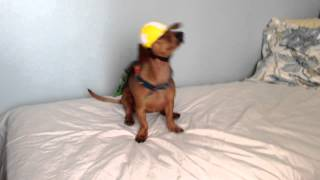 Harlem Shake - Ammo The Dachshund Super Hero