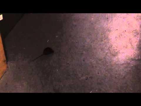 arme maus wird erschlagen und explodiert maus im keller mausefalle schnappt zu enorm viel. Black Bedroom Furniture Sets. Home Design Ideas