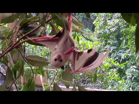 Rehab   Rare Leucistic Bat baby, orphaned rescued, Megabat Grey-headed male, Flying-fox, Fruit bat