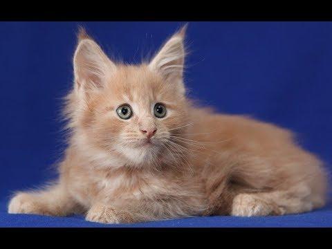 Большой красный вислоухий кот - флеппиг - YouTube