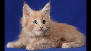 Продажа Мейн Кунов из Питомника. Продажа котят мейн кун. Продажа котов мейн кун...