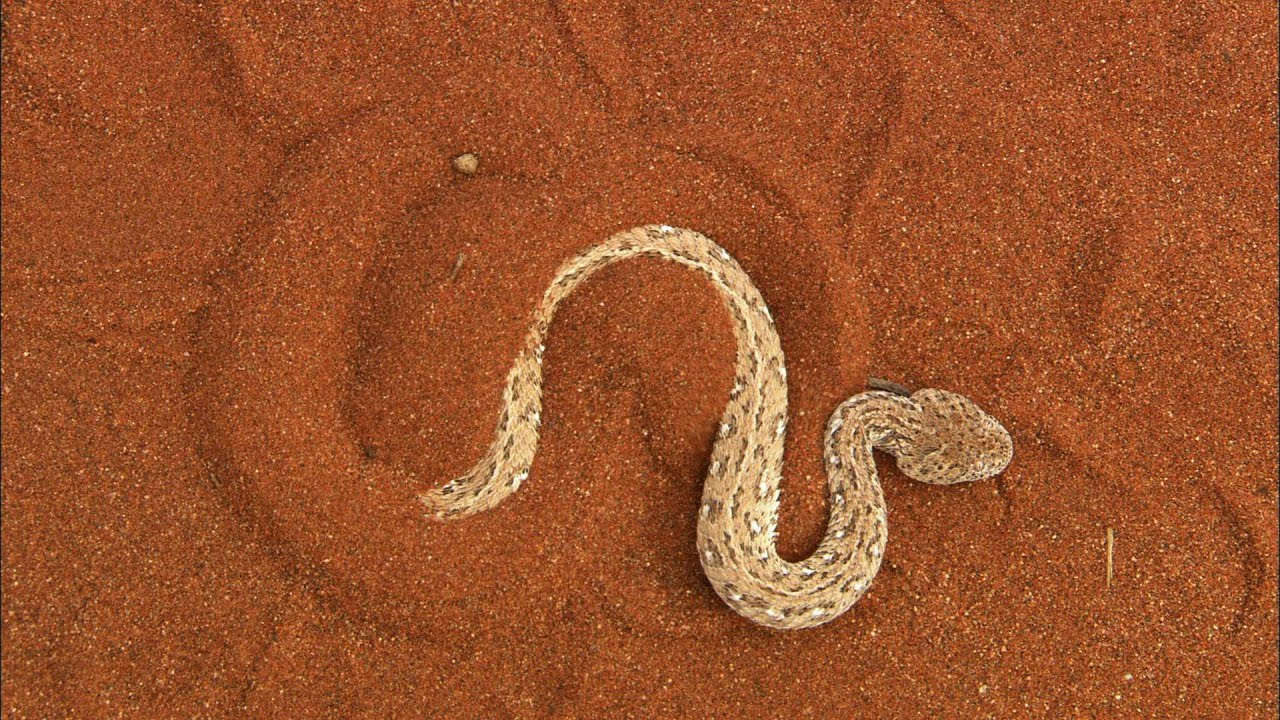The Sidewinder Snake Slithers at 18 MPH