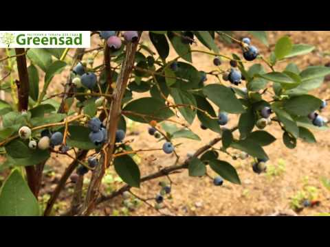 "Голубика ""Блюджей"" - видео-обзор от Greensad"