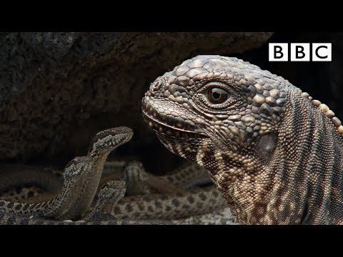 Iguana chased by snakes - Planet Earth II: Islands - BBC One