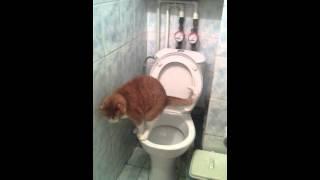 рыжий кот срет в унитаз