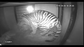 2016年4月8日に旭山動物園でアムールトラの一頭目が生まれた際の動画です。