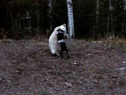Akbash Dog and Puli-Saluki Mixed dog playing