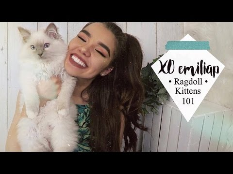Everything To Know About Ragdoll Kittens   Ft. My Ragdolls Cat   xoemiliap
