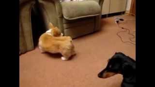 щенок корги и такса
