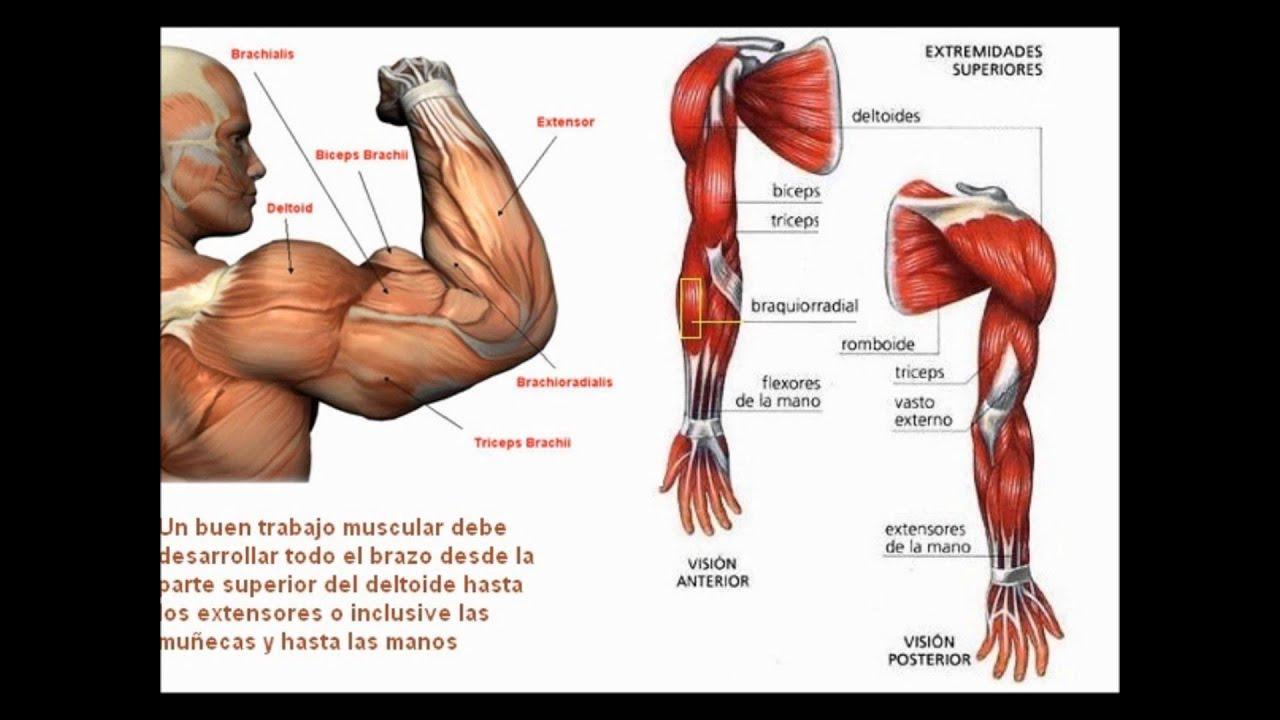 Músculos del antebrazo y de la mano - YouTube