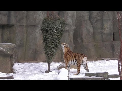 Chicago zoo animals enjoying snow